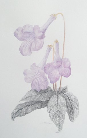 cape violet.jpg