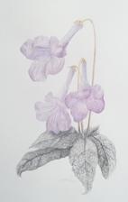 cape violetthumb